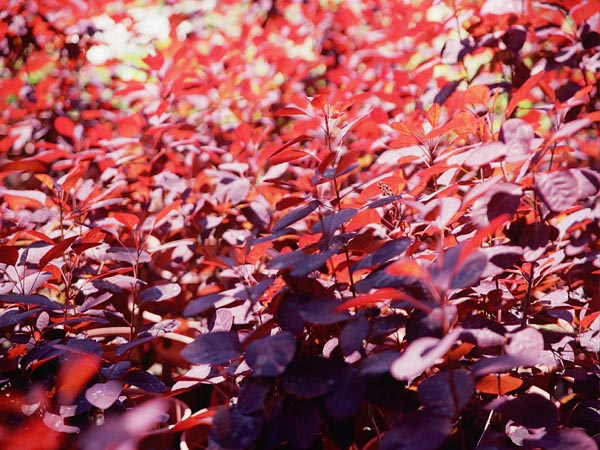 Cotinus cogg. Royal Purple