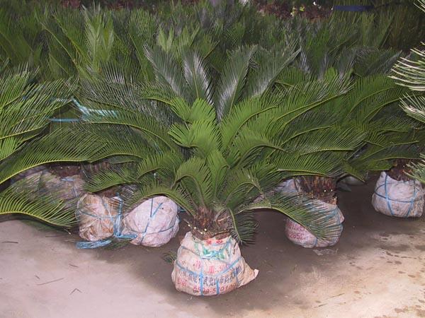 Cycas revoluta