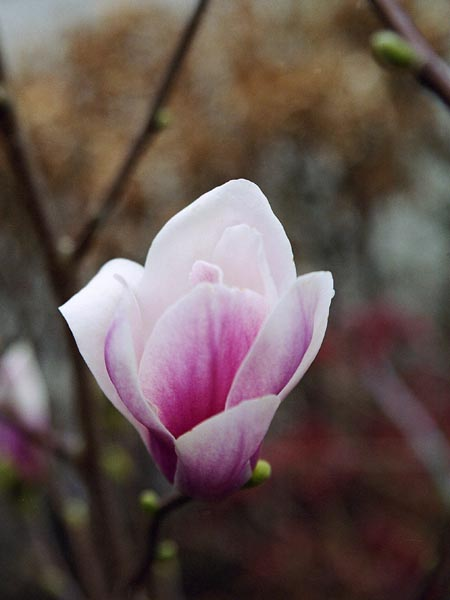 Magnolia Fragrant Cloud