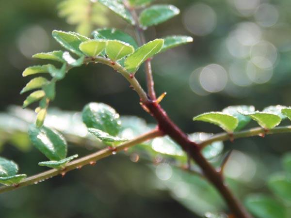 Zanthoxylum schinifolium