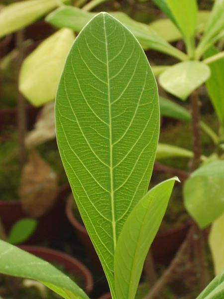 Edgeworthia chrysantea