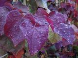 "Cercis canadensis ""Forest Pansy"""