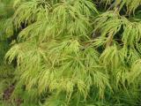 Acer palm. Ao-Shidare