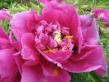 Tree Paeonia