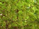 Carpinus laxiflora