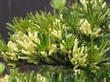 Podocarpus macr. Maki