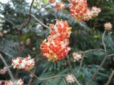 Edgeworthia chrysantha Red Dragon